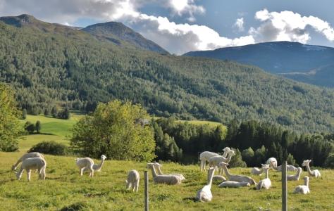 47 Lamor på fjället, Norge